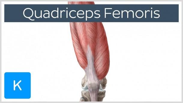 Quadriceps Femoris Muscle - Best Diagram Collection