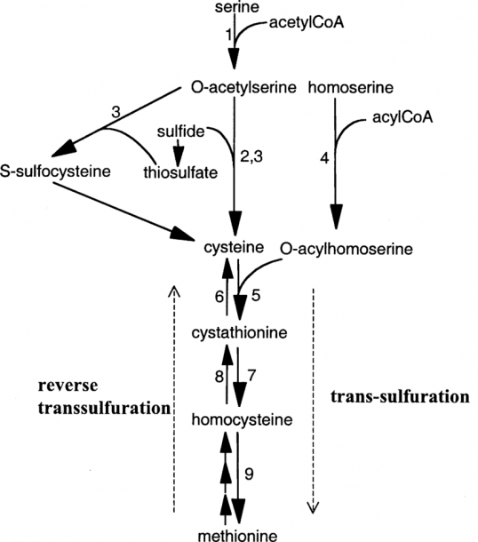 Metabolic Reactions Of Sulfur