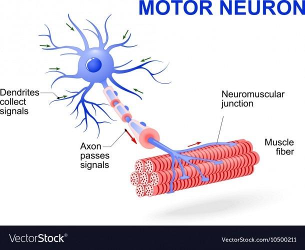 Motor Neuron Royalty Free Vector Image