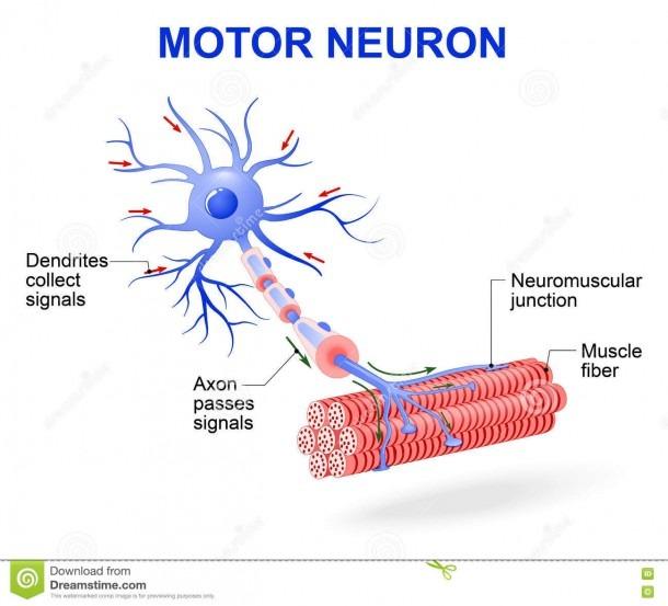 Motor Neuron  Vector Diagram Stock Vector