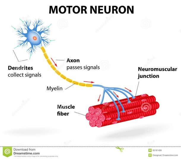 Motor Neuron  Vector Diagram Illustration 35181499