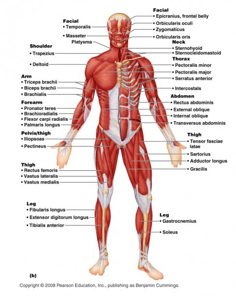 Muscular System Diagram Labeled Diagram Of Human Muscular System