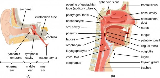 Anatomy And Normal Microbiota Of The Respiratory Tract
