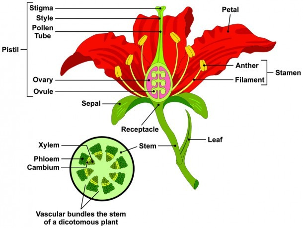 17 Parts Of A Flower Explained (with Detailed Diagram)
