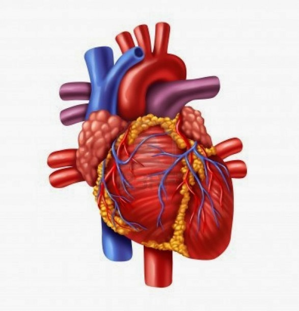 Free Heart Diagram Unlabeled, Download Free Clip Art, Free Clip