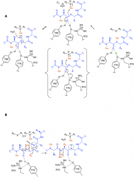 Proposed Mechanism Of Methylation  (a) The Conserved Water