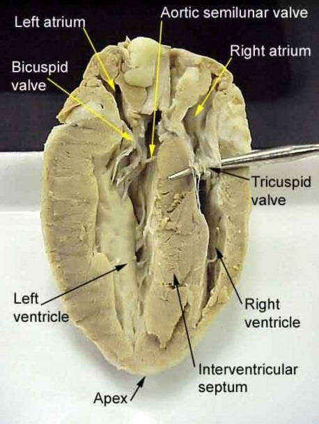 Sheep Heart Dissection Diagram Labeled
