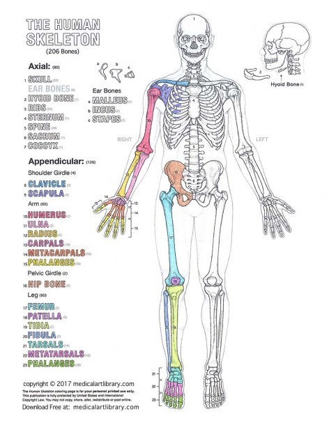 The Human Skeleton Coloring Page