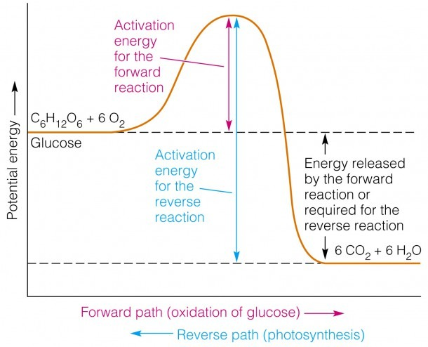 How Can I Represent An Exothermic Reaction In A Potential Energy