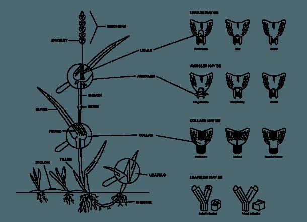 Weeds  Monocot