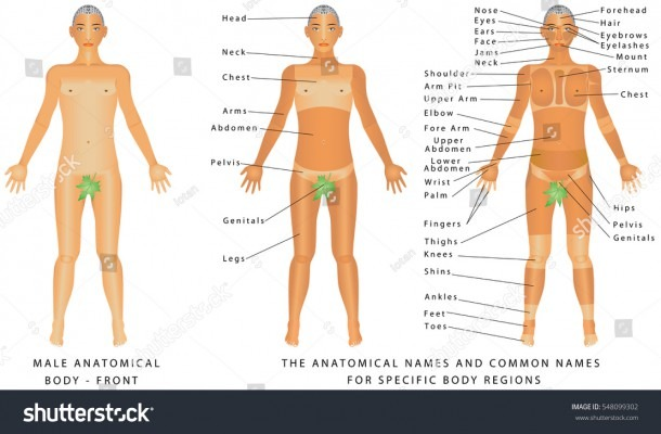 Male Body Front Surface Anatomy Human Stock Vector (royalty Free
