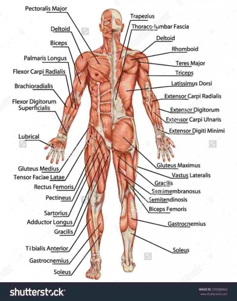 Labeled Front Muscles – Diagram Class Anatomy