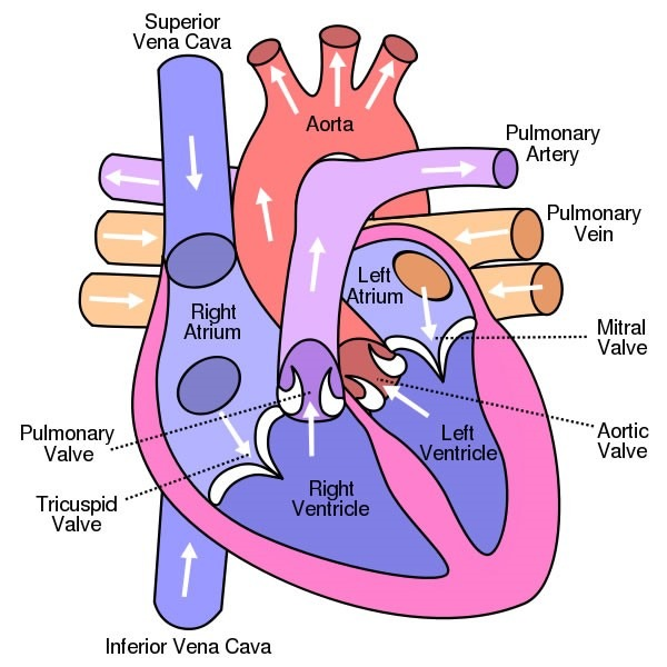 The Heart Labeled And Functions Full Inspiration Web Design With