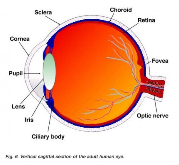 The Human Eyeball Lovely Labeled Eye Diagram Anatomy Organ – Body