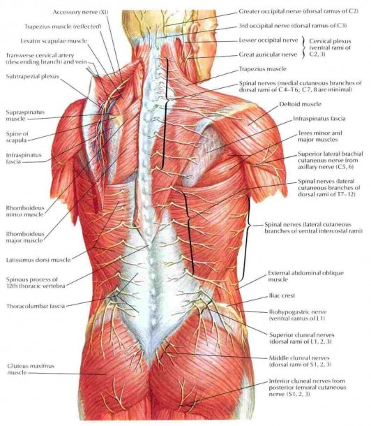 Anatomy And Physiology Of The Back Muscles – Diagram Class Anatomy
