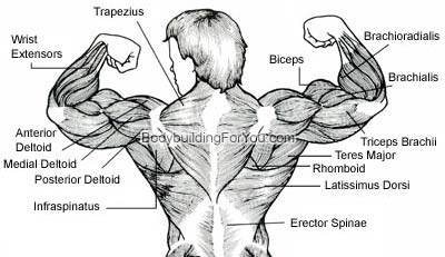 Upper Back Muscle Diagram Essentials Awesome Websites With Upper