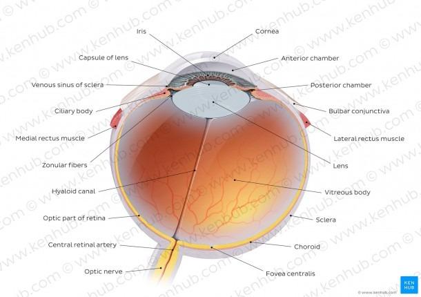 Diagram   Pictures  Eyeball (anatomy)