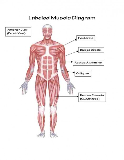 Body Muscles Labeled – Diagram Class Anatomy