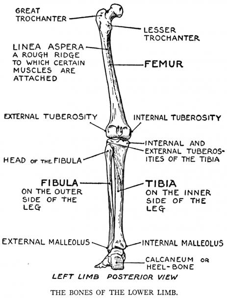 Thigh Bone Diagram