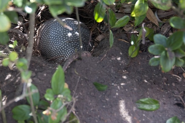 How Fast Can An Armadillo Dig A Burrow