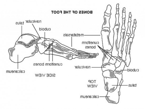 Ankle Bones Diagram