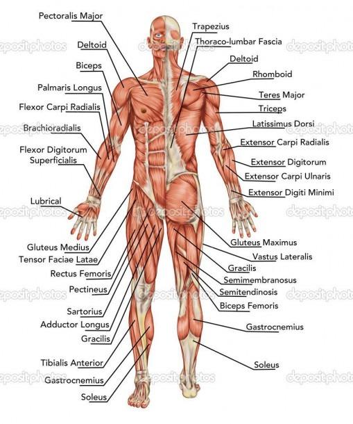 Anatomy Diagram Organs