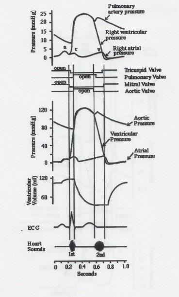 Wiggers Diagram Explained