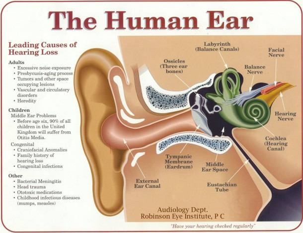 Functions Of An Ear Inner Ear Parts And Functions Structure And