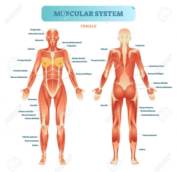 Female Muscular System, Full Anatomical Body Diagram With Muscle