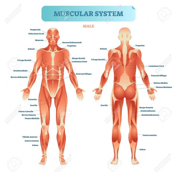 Male Muscular System, Full Anatomical Body Diagram With Muscle