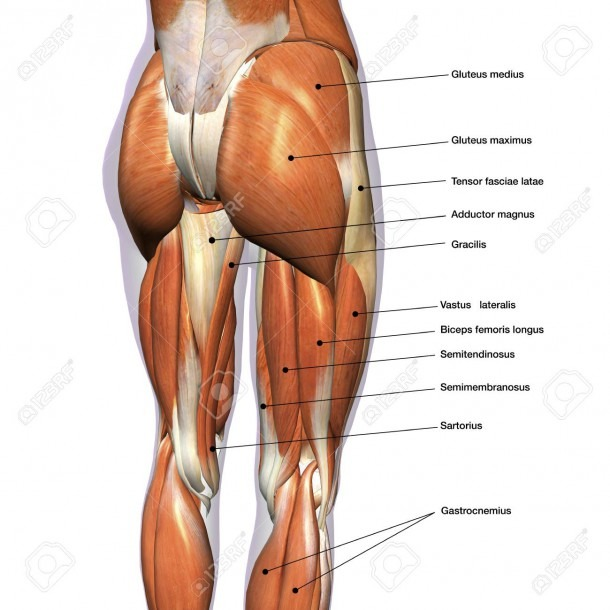 Rear View Of Female Hip And Leg Muscles,with Labels Stock Photo