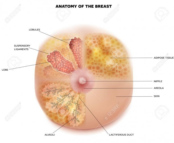 Female Breast Anatomy And Physiology Diagram Detailed Colorful