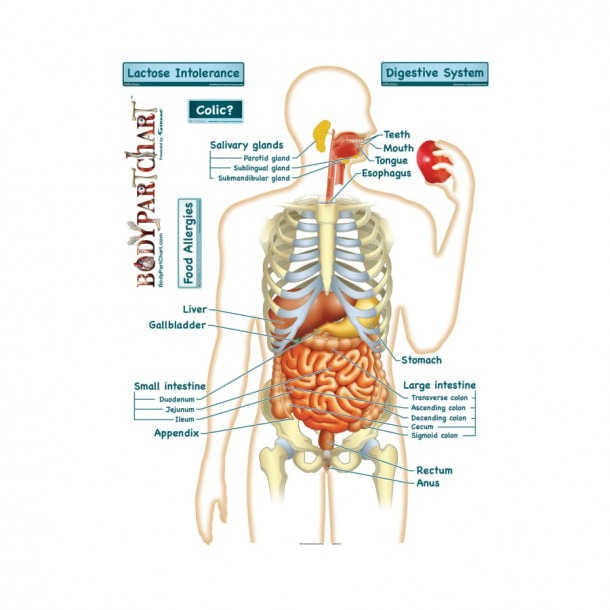 Simplified Digestive System (labeled)