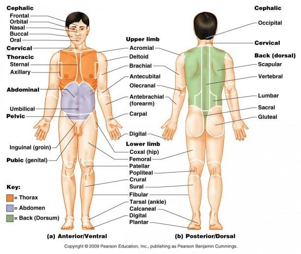 Body Regoins