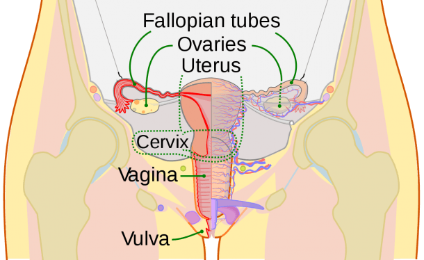 Cervix Diagram