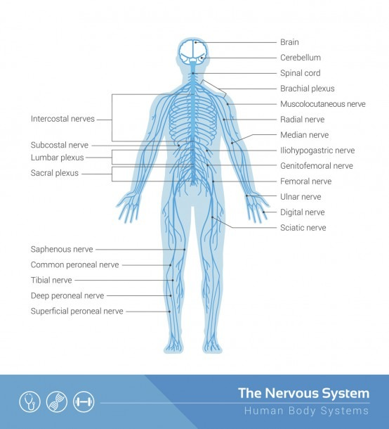 Human Nervous System Structure And Functions Explained With Diagrams