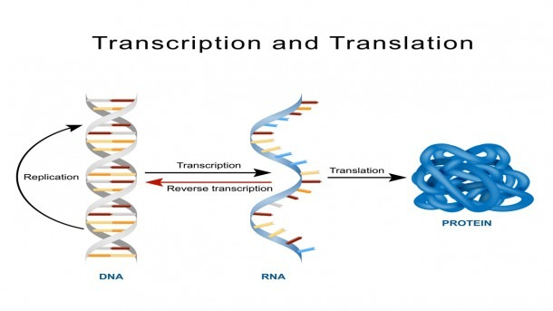 A Short Explanation Of The Fascinating Process Of Protein Synthesis