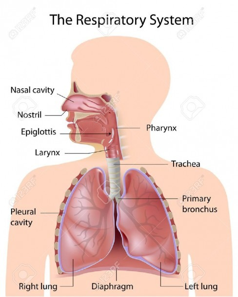 The Respiratory System, Labeled Royalty Free Cliparts, Vectors