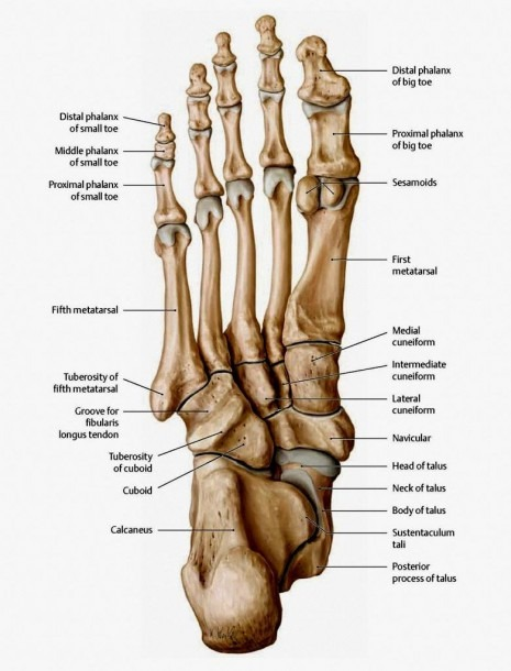 The Bones In The Foot  Inferior View (picture Illustrated From