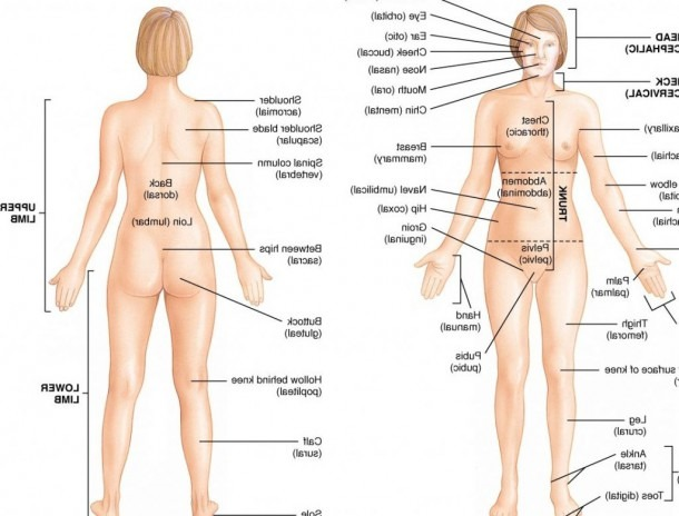 Human Female Anatomy Diagram