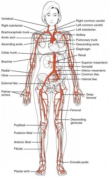 Circulatory Pathways