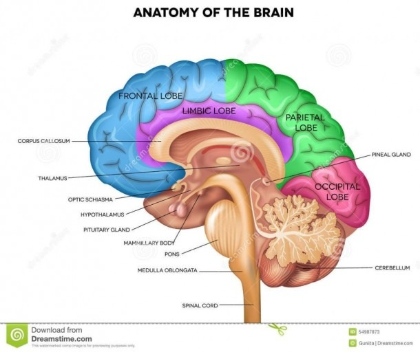 Image Result For Brain Structures And Functions Diagram
