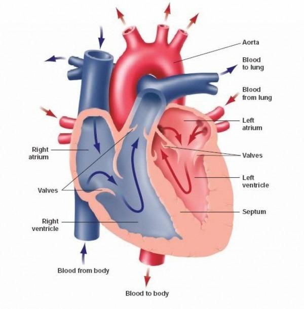 Simple Human Anatomy Diagram
