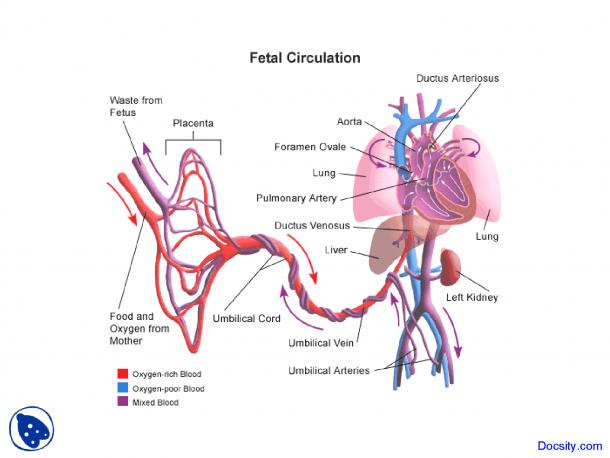 Flow Chart Of Fetal Circulation