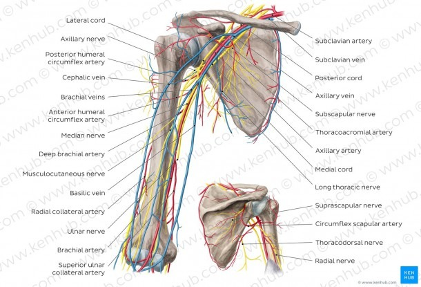 Diagram   Pictures  Neurovasculature Of The Arm And The Shoulder