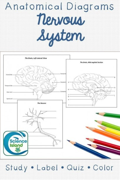 Nervous System Diagrams And Quizzes
