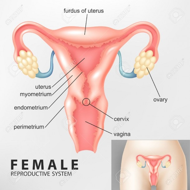 Diagram Of Female Reproductive System Royalty Free Cliparts