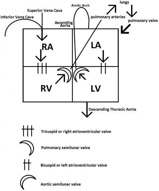 Box Diagram Of Heart