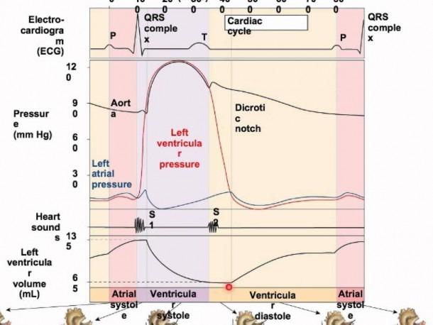 Wigger's Diagram Explained