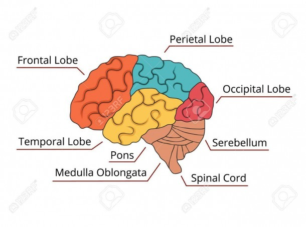 Brain Function Diagram  Vector Illustration Royalty Free Cliparts